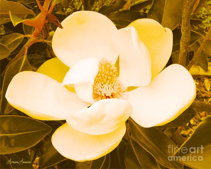 Flowers Photograph - Magnolia In Color by Lorraine Louwerse