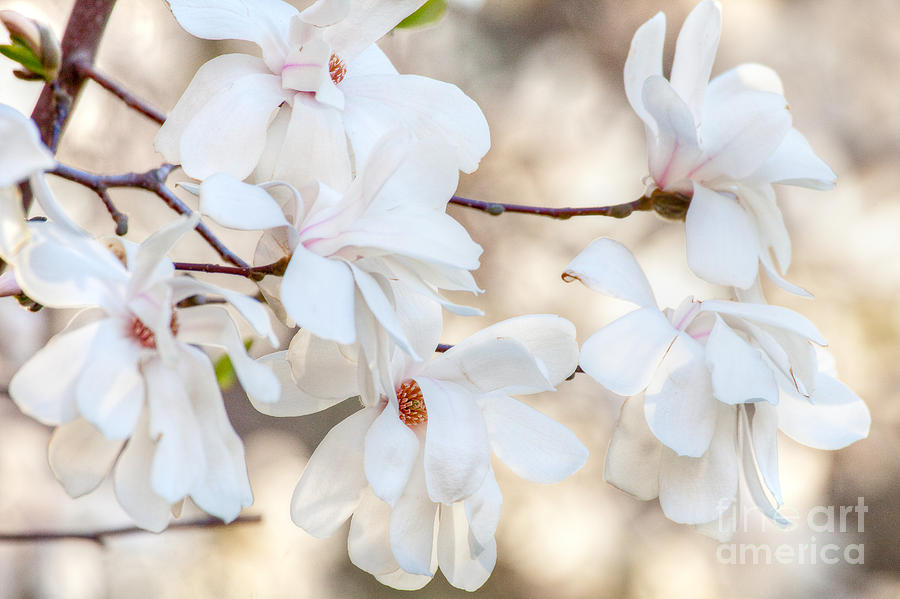 April Photograph - Magnolia Spring by Susan Cole Kelly