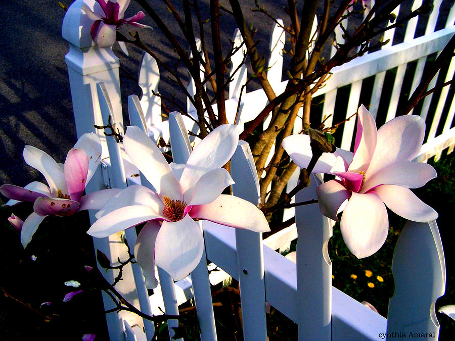 Picket Fence Photograph - Magnoliss On A Picket Fence by Cynthia Amaral