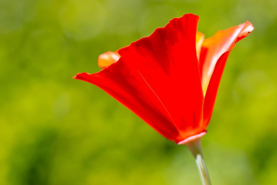 Green Photograph - Mahogany California Poppy I by Heidi Smith
