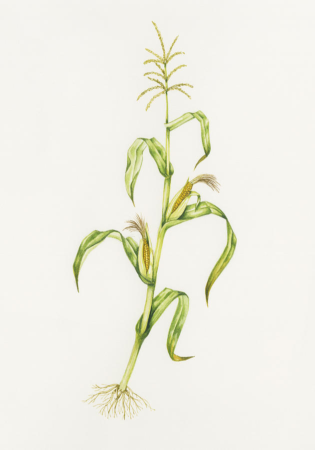Zea Mays Photograph - Maize (zea Mays) by Lizzie Harper