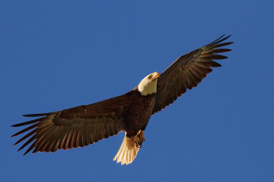 Image result for majestic bald eagle