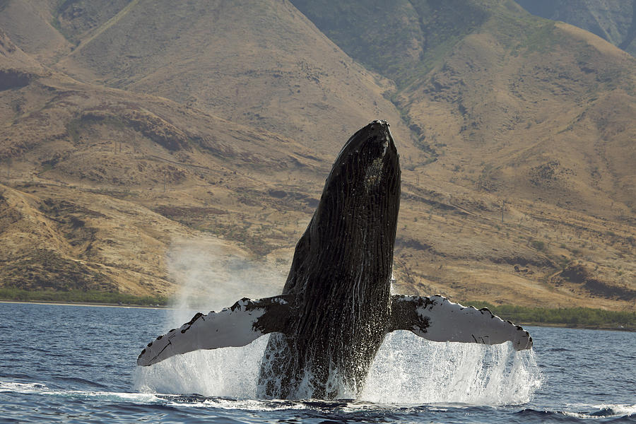 Animal Photograph - Majestic Breaching Whale by Dave Fleetham