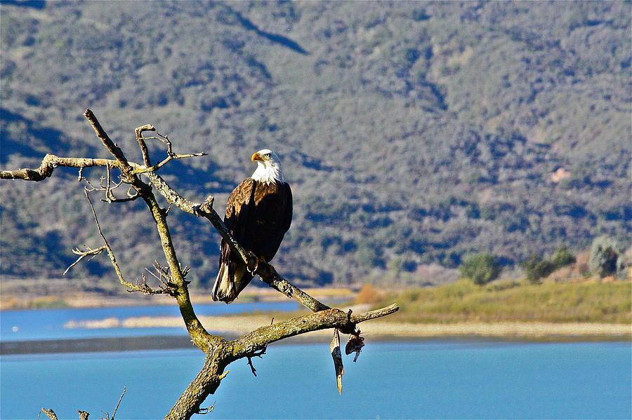 Birds Photograph - Majestic Eagle by Diana Hatcher