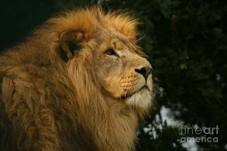 Lion Photograph - Majestic Lion by Carol Wright