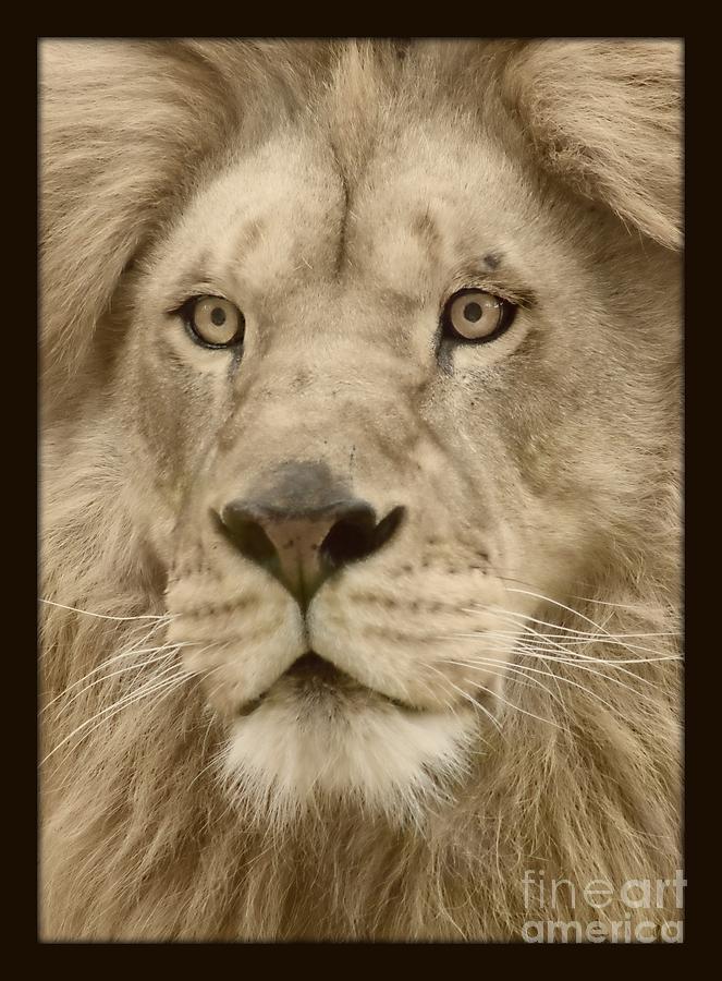 Feline Photograph - Majestic Lion by Megan Wilson