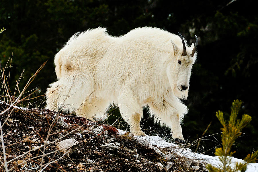 Yellowstone National Park Photograph - Majestic Mountain Goat Le by Greg Norrell