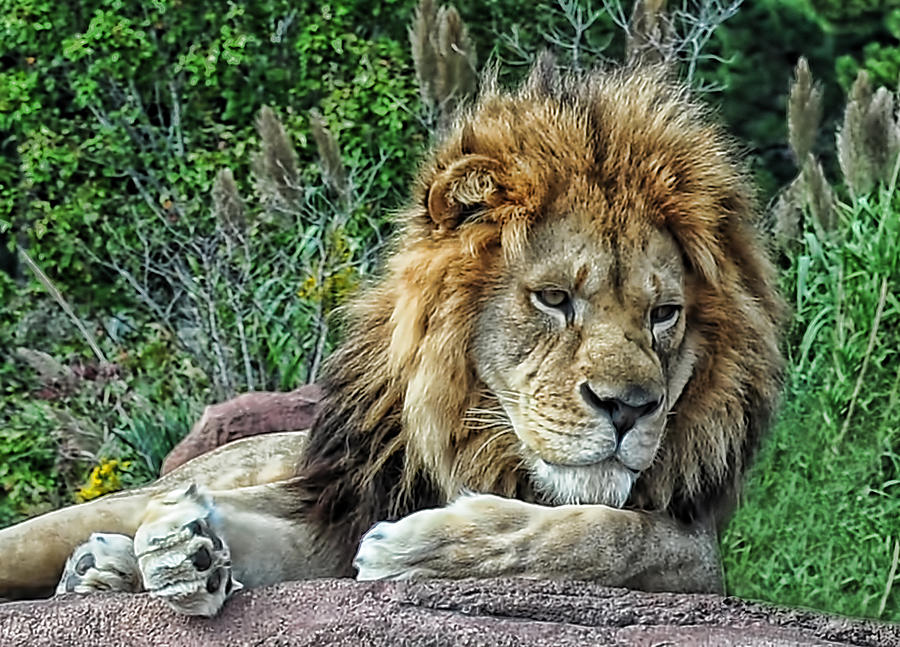 Lion Photograph - Majestic by Tazz Anderson