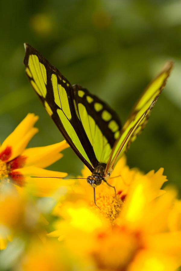 Close-up Photograph - Malachite Butterfly On Flower by Craig Tuttle