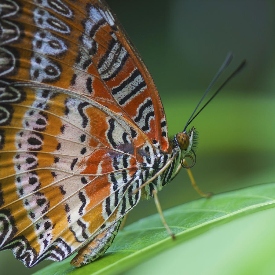 Butterfly Photograph - Malay Lacewing Butterfly by Zoe Ferrie