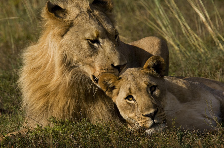 Male And Female African Lions, Panthera Photograph By -9849