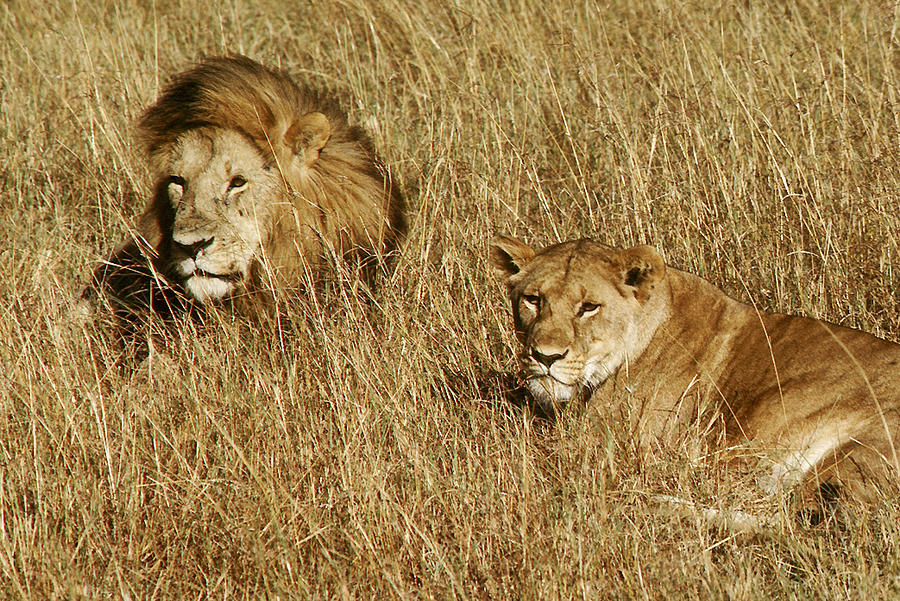 Male And Female Lions In Kenya