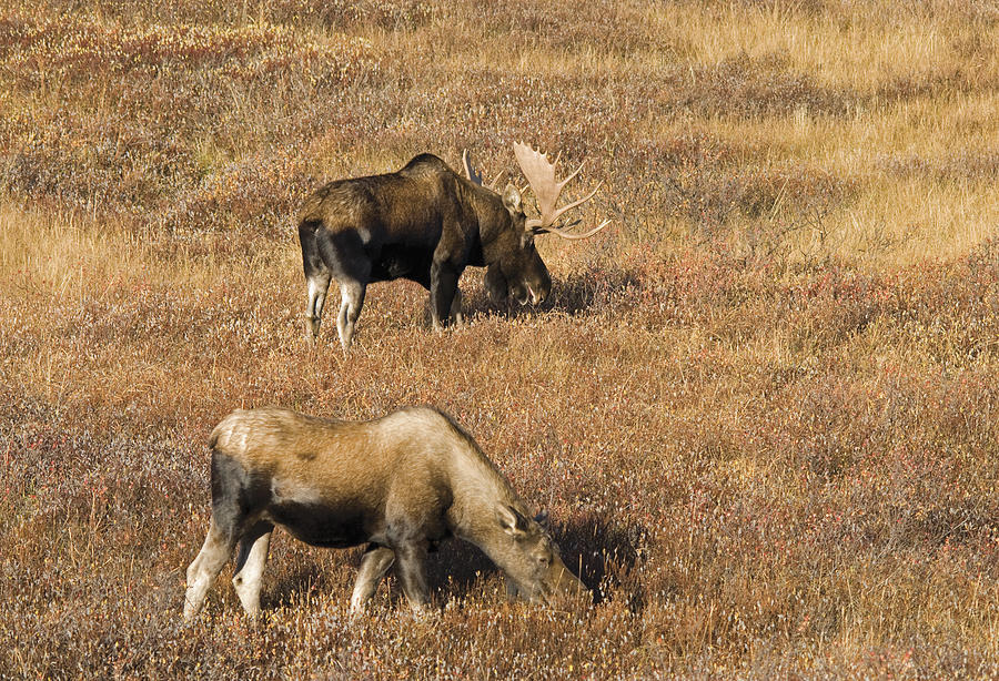 Alces Alces Photograph - Male And Female Moose Alces Alces In by Philippe Widling