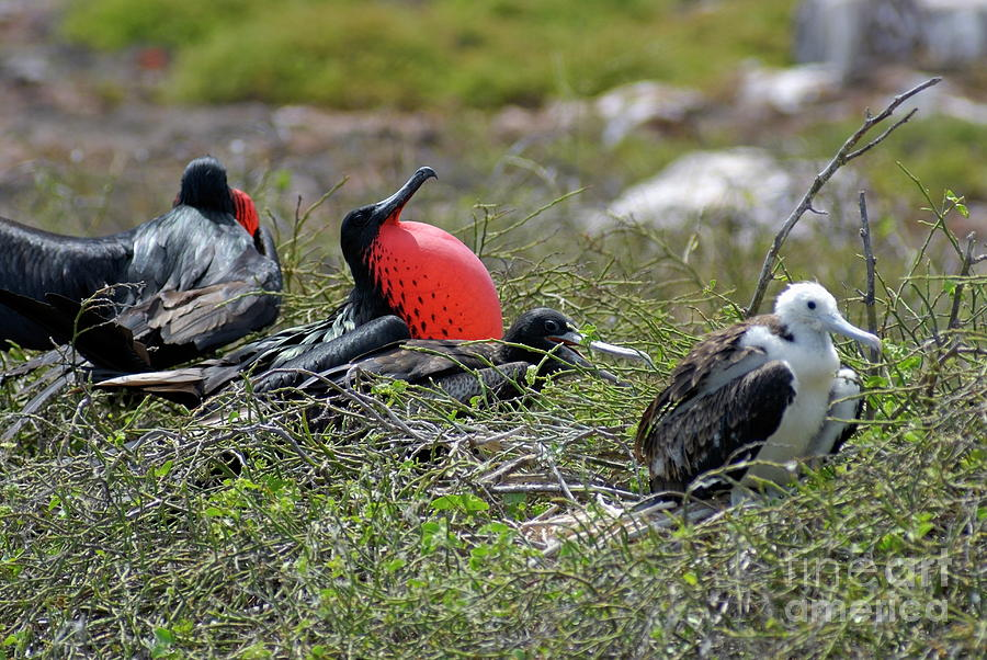 Freedom Photograph - Male And Juvenile Great Frigate Bird by Sami Sarkis