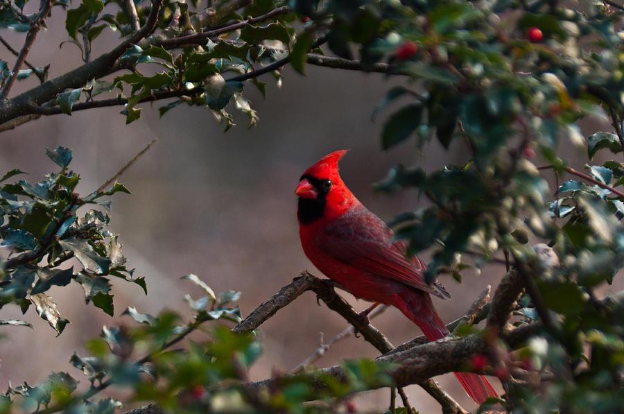 Cardinal Photograph - Male Cardinal by Ron Smith