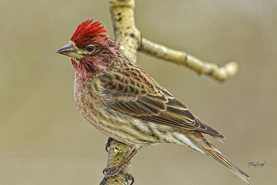 Male Cassin S Finch Photograph By Fred J Lord