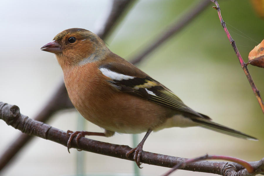 Finches Photograph - Male Chaffinch by Celine Pollard
