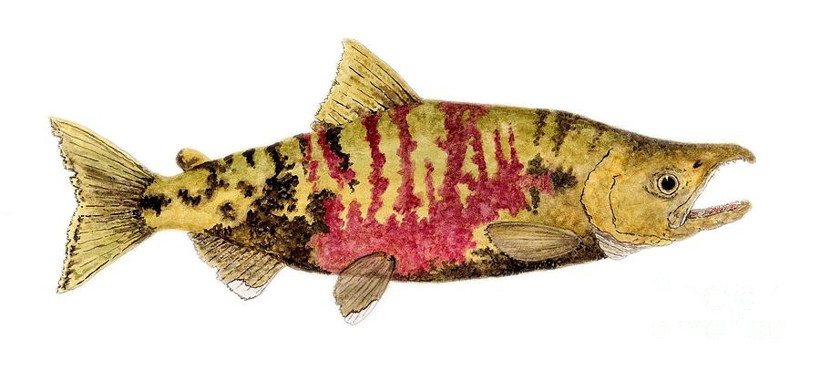 Salmon Painting - Male Chum Salmon In Spawning Colors by Thom Glace