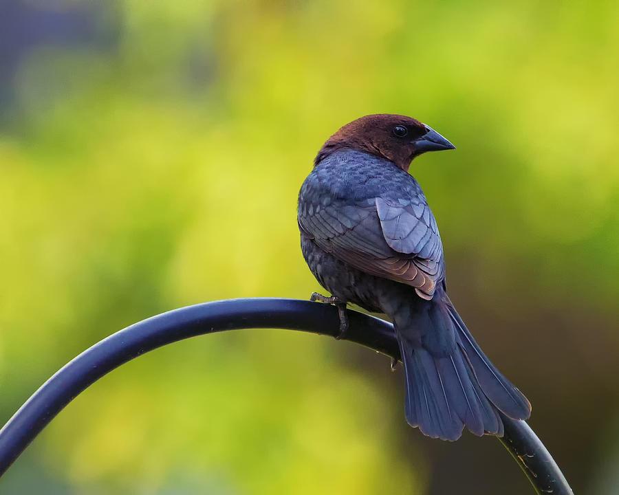 Bird Photograph - Male Cowbird - Back Profile by Bill Tiepelman