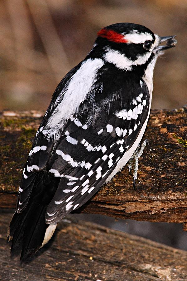 Nature Photograph - Male Downy Woodpecker by Larry Ricker