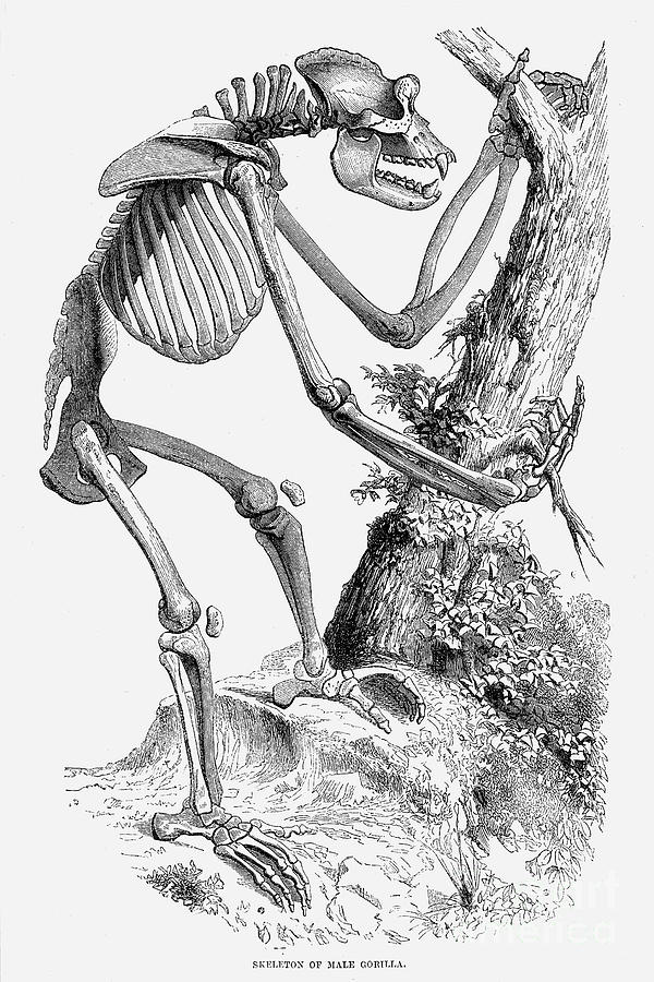 Male Gorilla Skeleton Photograph by Granger