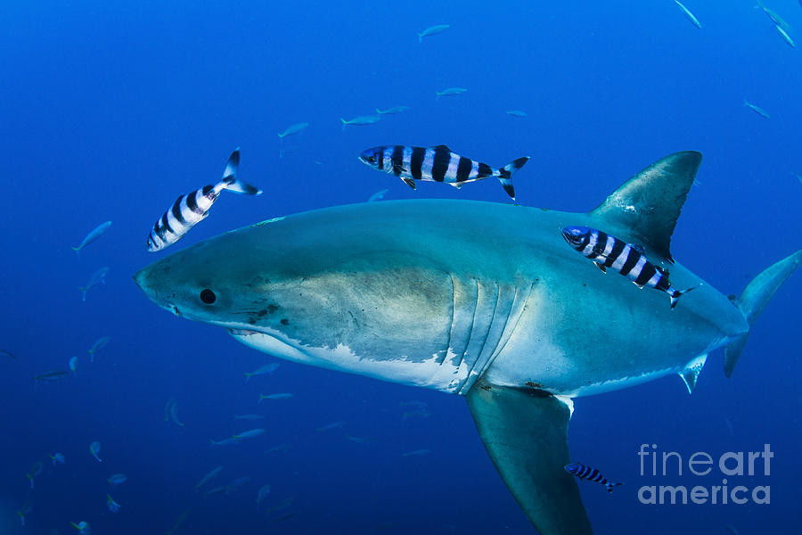 Carcharodon Carcharias Photograph - Male Great White Shark And Pilot Fish by Todd Winner