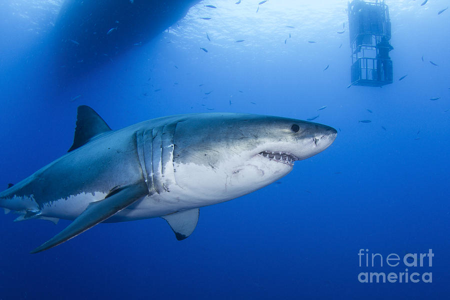 Carcharodon Carcharias Photograph - Male Great White Shark, Guadalupe by Todd Winner