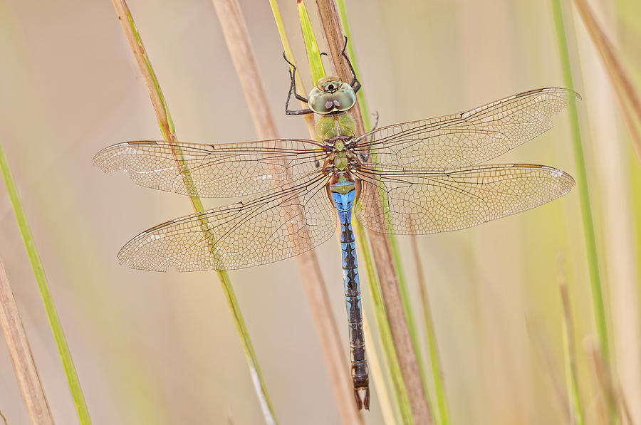 Male Green Darner Dragonfly Photograph - Male Green Darner Dragonfly by Bonnie Barry