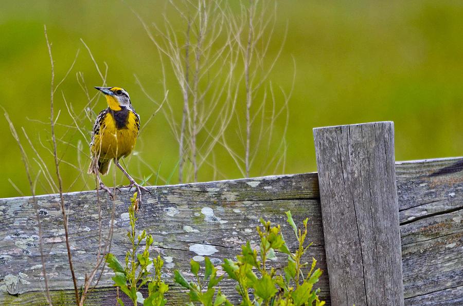 Male Photograph - Male Lilians Meadowlark by Brenda Becker