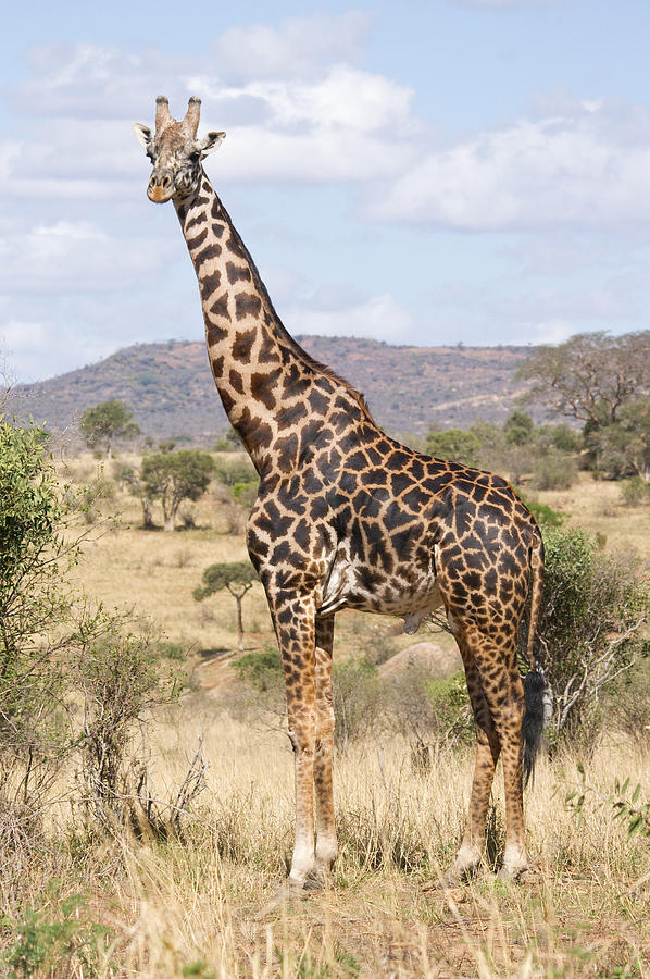 Male Masai Giraffe Photograph By Howard Kennedy
