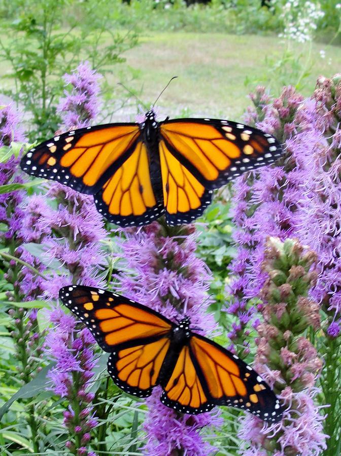 Male Monarchs Photograph by Katie Bauer
