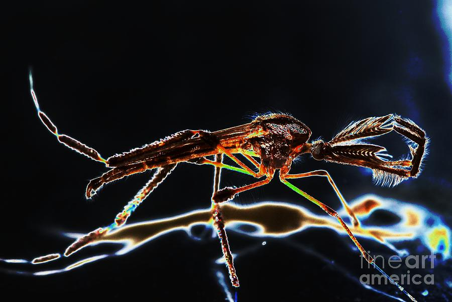 Mosquito Photograph - Male Mosquito Enhanced by Lynda Dawson-Youngclaus