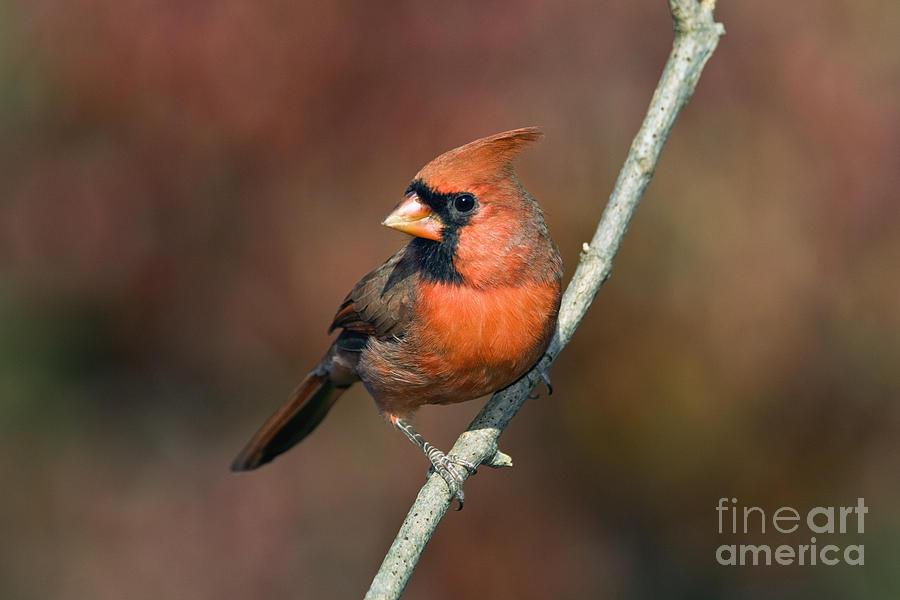 Male Photograph - Male Northern Cardinal - D007813 by Daniel Dempster