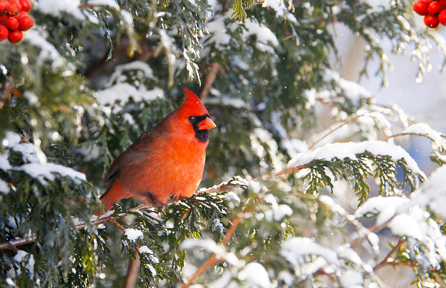 Beak Photograph - Male Northern Cardinal. by Kelly Nelson