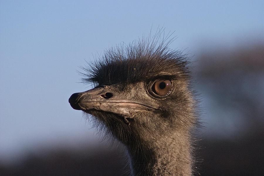 Closeup Photograph - Male Ostrich Namibia by David Kleinsasser