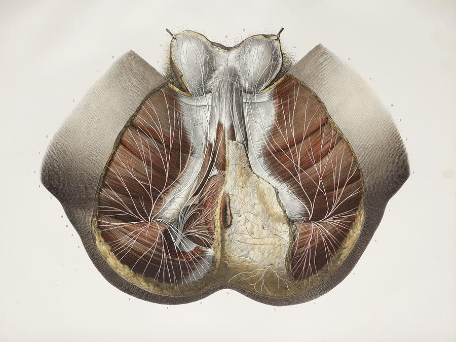 Male Perineal Nerves, 1844 Artwork Photograph by