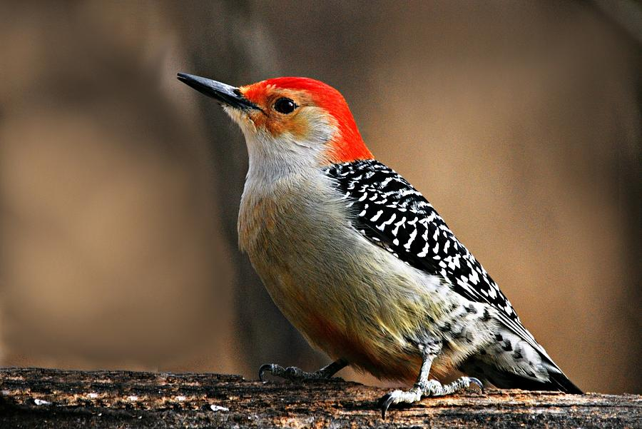 Nature Photograph - Male Red-bellied Woodpecker 4 by Larry Ricker