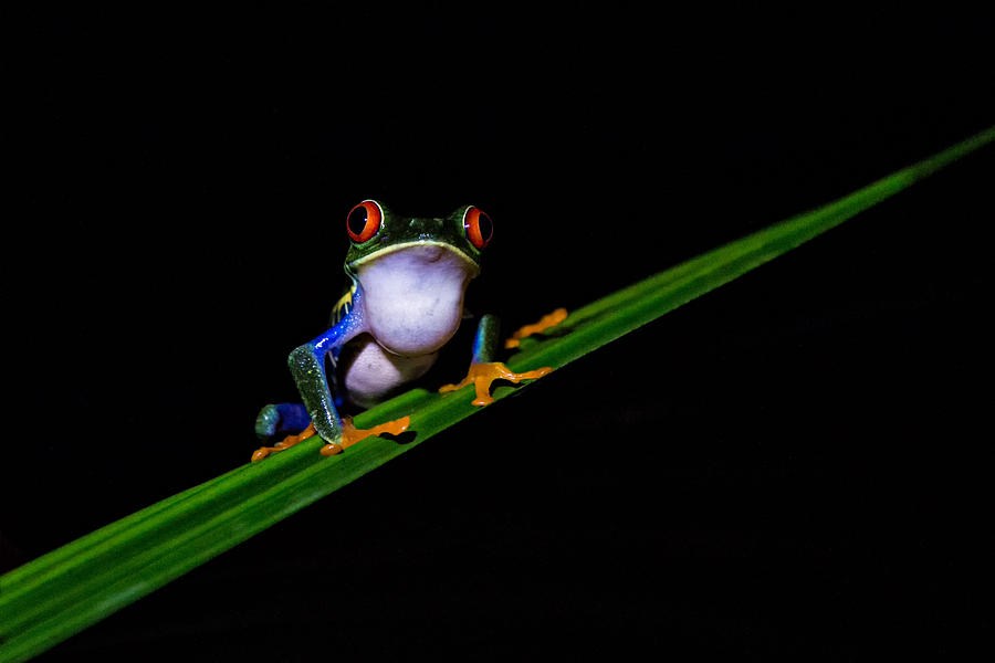 Frog Photograph - Male Red Eye Tree Frog by Hali Sowle