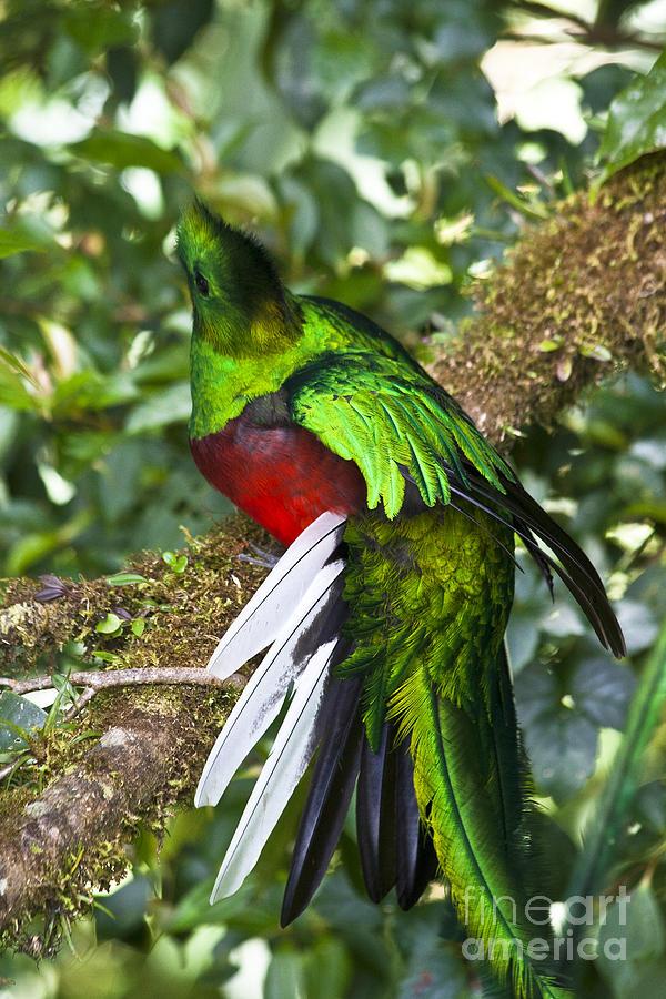 Male Resplendent Quetzal Photograph