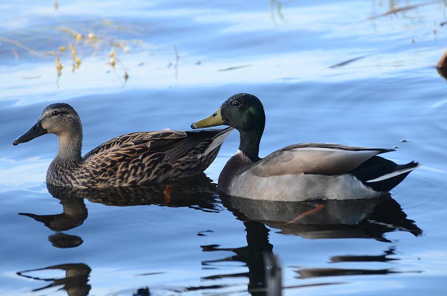 Ducks Photograph - Mallard Couple by Michael Carrothers