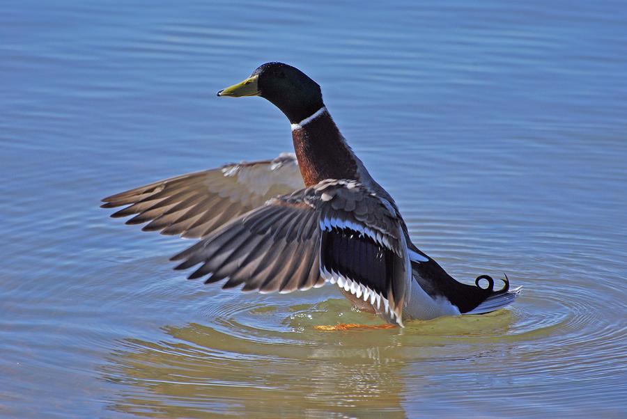 Duck Photograph - Mallard Duck by Charles Covington