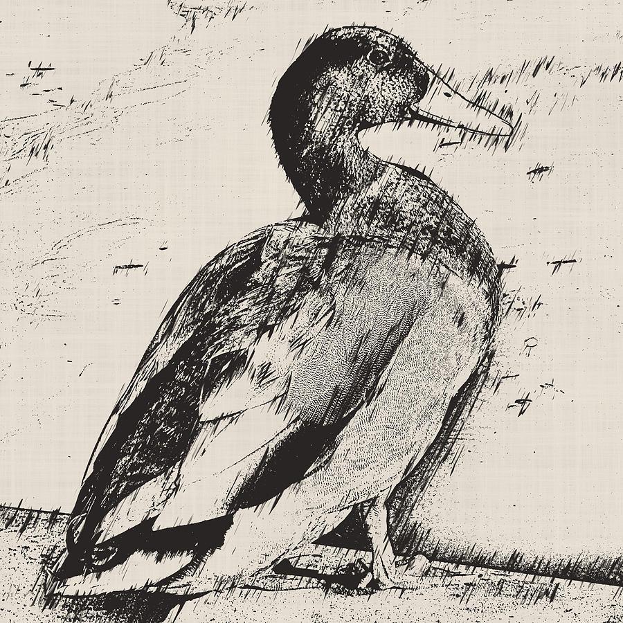 Mallard Duck Sketch Photograph By David G Paul