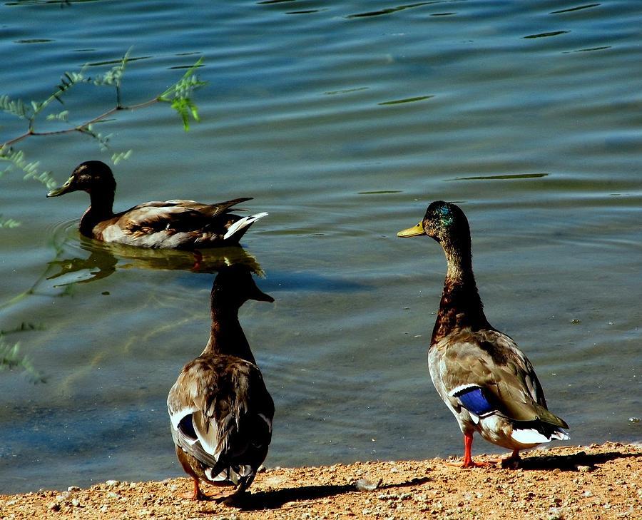 Ducks Photograph - Mallard Ducks by David Killian
