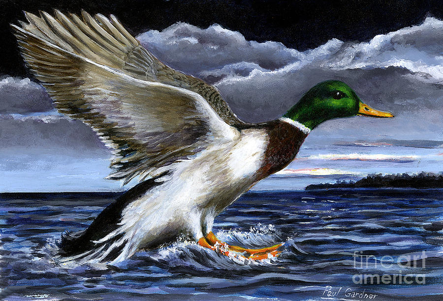 Mallard by Paul Gardner