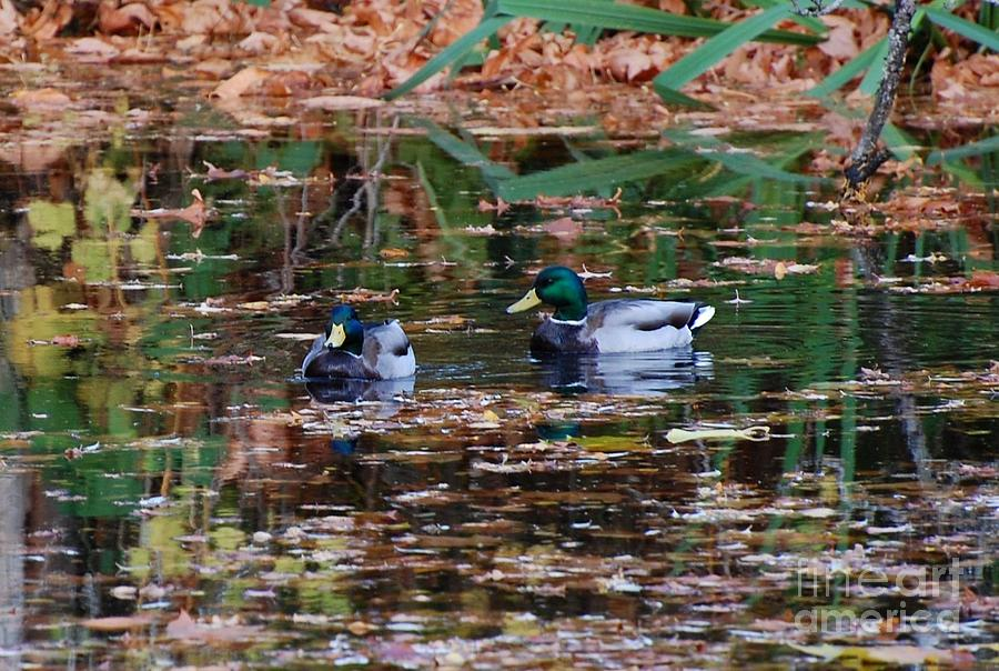 Ducks Photograph - Mallards 2 by Marsha Thornton