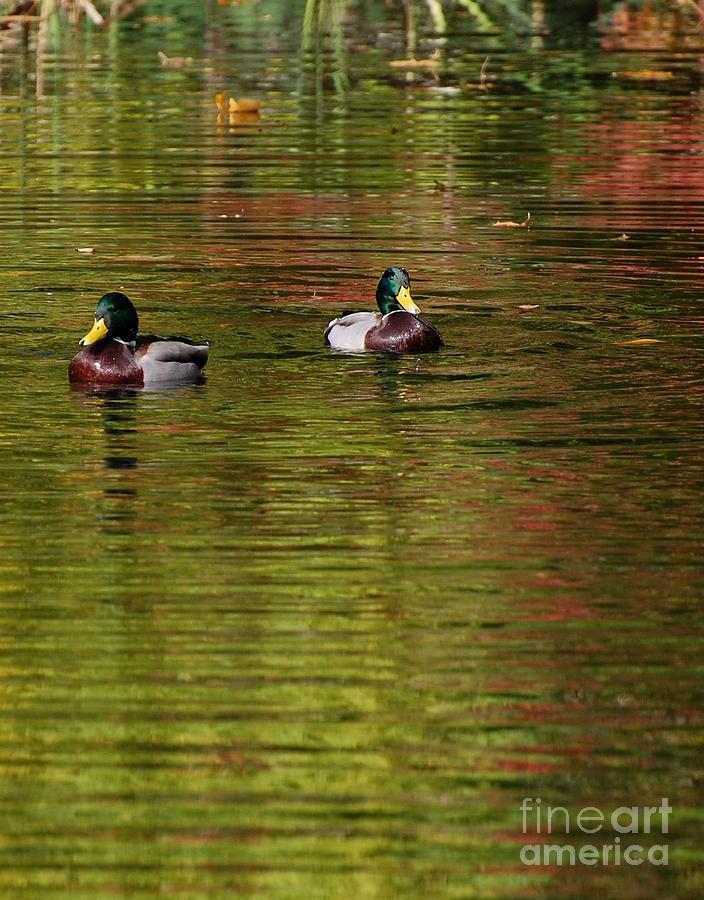 Ducks Photograph - Mallards 3 by Marsha Thornton