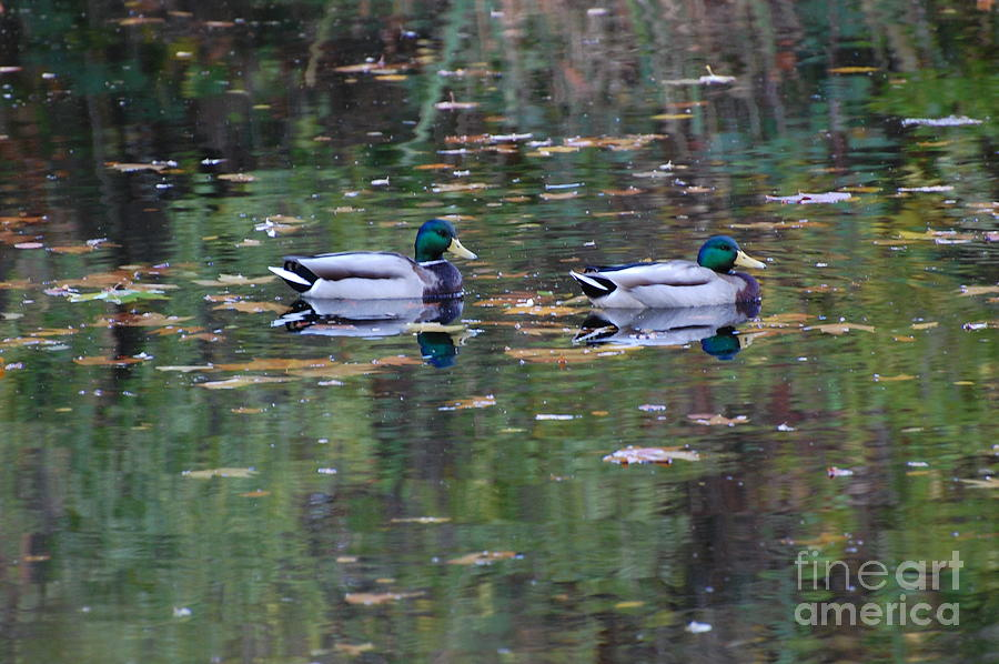 Ducks Photograph - Mallards by Marsha Thornton
