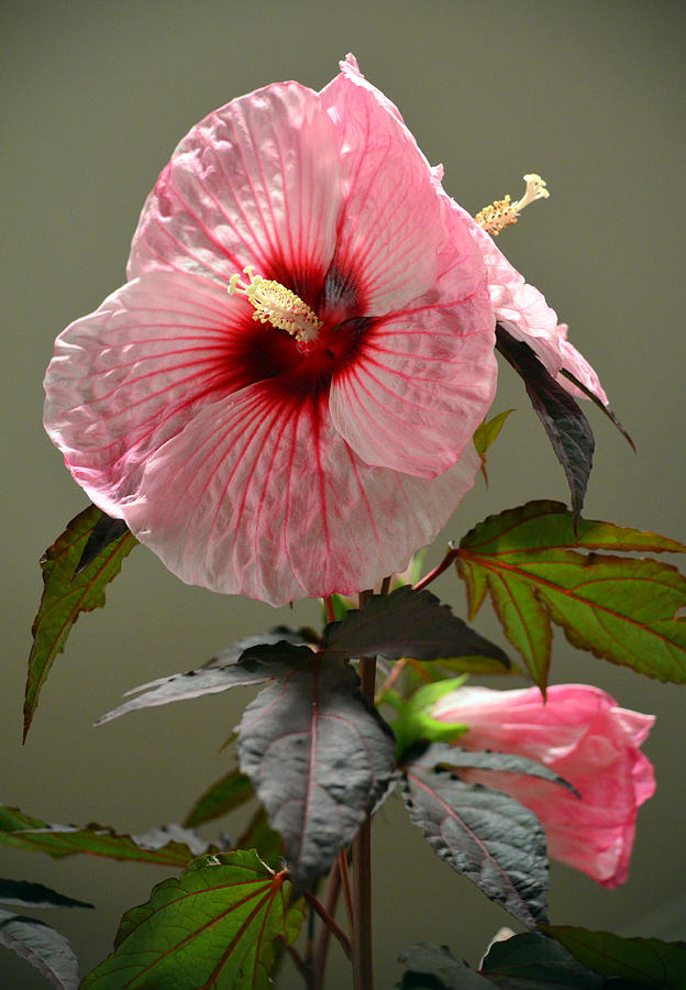 Mallow Photograph - Mallow Hibiscus by Sandi OReilly