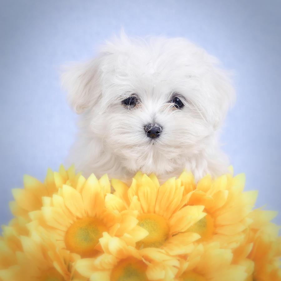Animal Photograph - Maltese  Puppy Portrait by Waldek Dabrowski
