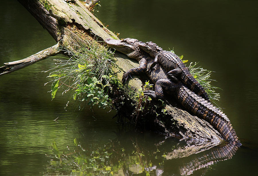 Mama Alligator With Her Baby Photograph By Paulette Thomas